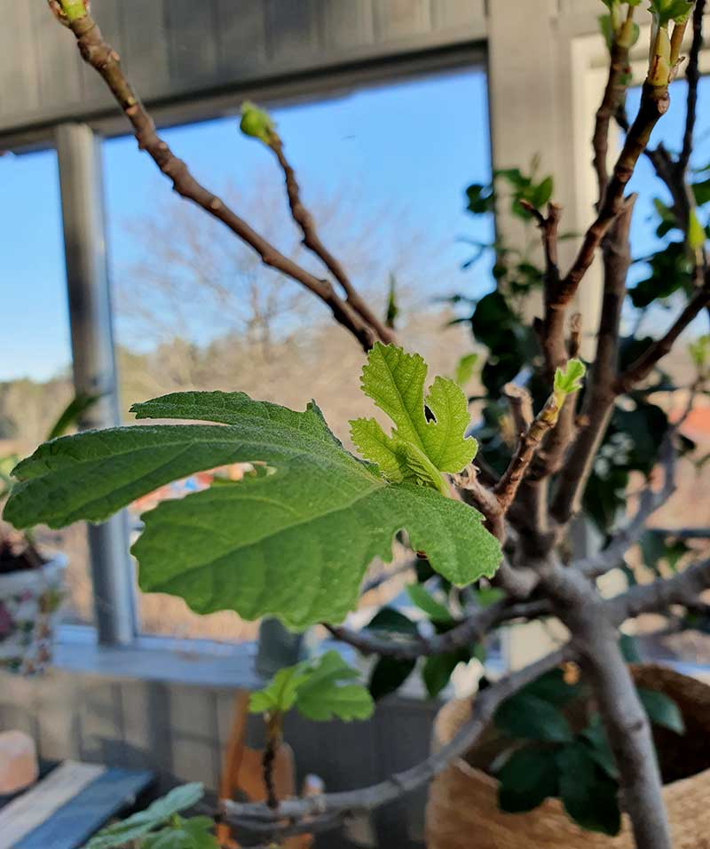 nya blad växter på fikonträdet