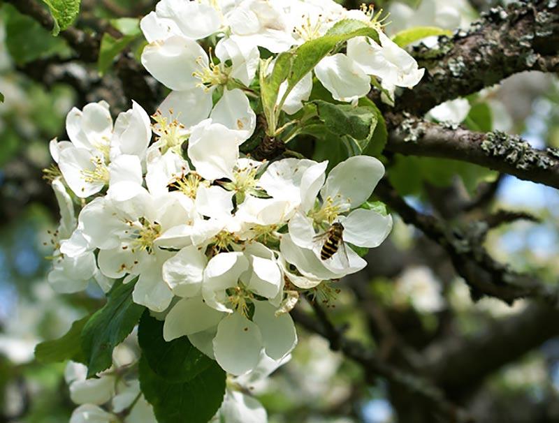 Äppelblom med pollinerare