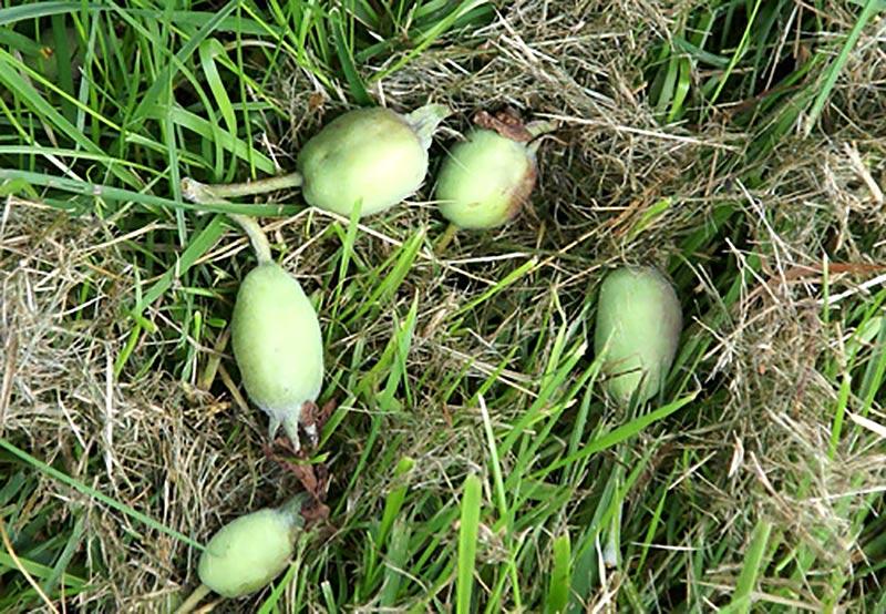 Nedfallna äppelkart under äppelträdet