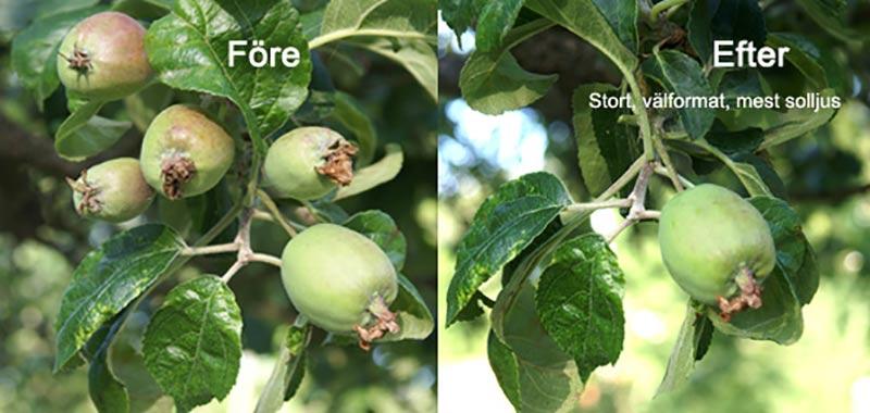 Före-efter-bilder gallring av äppelkart