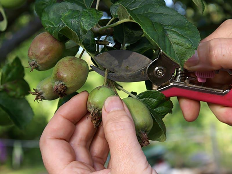 Gallring av äpplen med sekatör