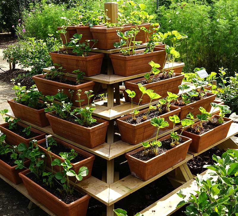 Jordgubbar odling i blomlådor i pyramid
