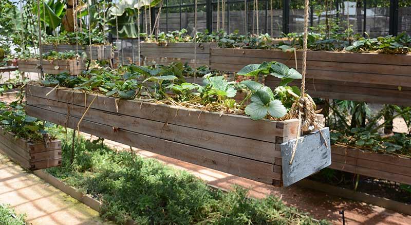 Jordgubbar odling i låda i växthus