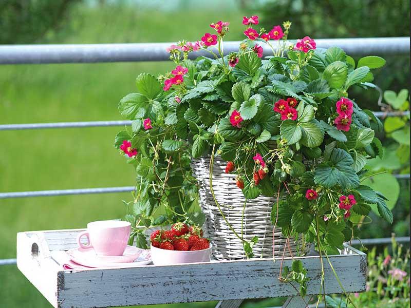 Jordgubbar i kruka balkongodling