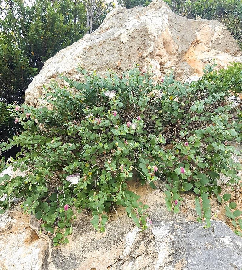 kaprisbuske på sin naturliga växtplats