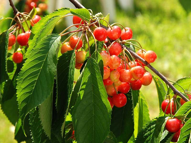 Allmän gulröd bigarrå sötkörsbär