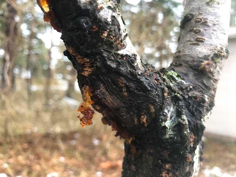 Gummiflöde med barksprickor på körsbärsträd