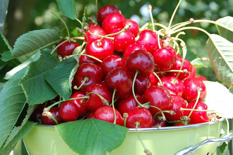 Skörd av allmänt klarbär körsbär