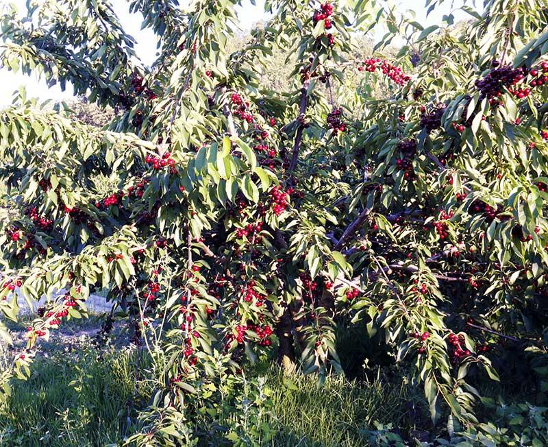 Lettisk låg körsbärsträd