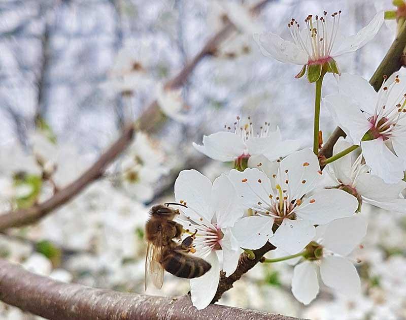 Pollinering av körsbärsblomma
