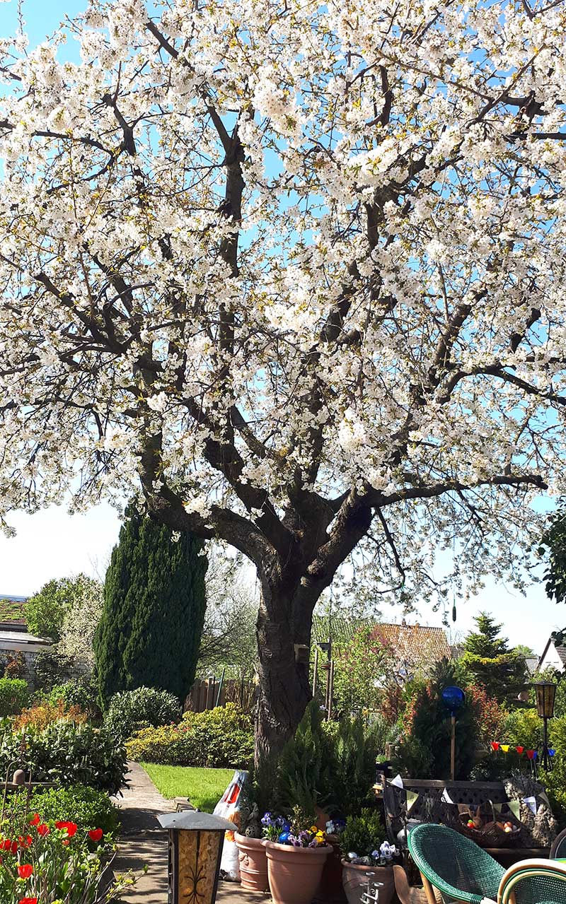 Blommande körsbärsträd i trädgård