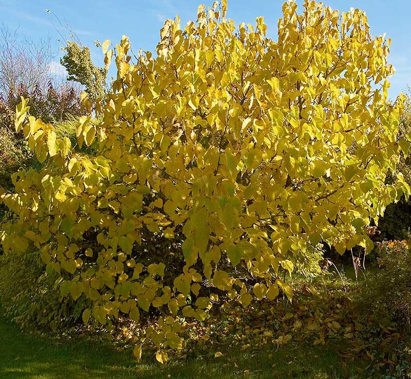 Gul höstfärg av mullbärsträd