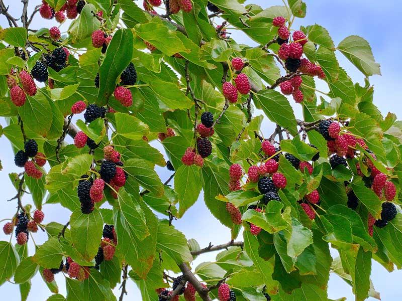 Mogna, svarta mullbär med röda och vita mullbär