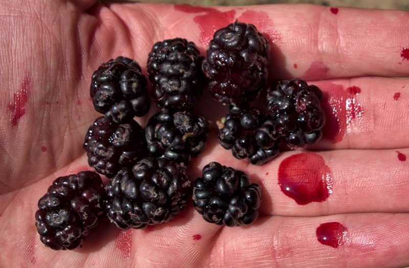 Skörda av svarta mullbär med mörk saft