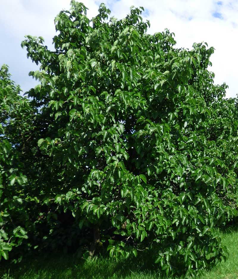 Träd av svart mullbär