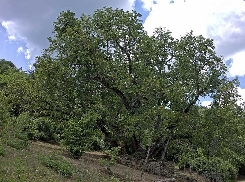 Vildväxande svart mullbärsträd