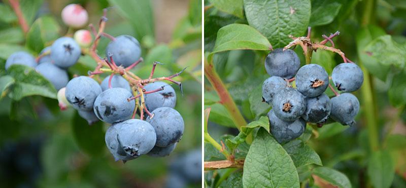 blåbär Reka och Bluecrop