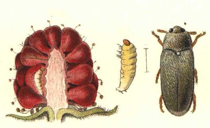 HAllonmask, hallonänger med larv