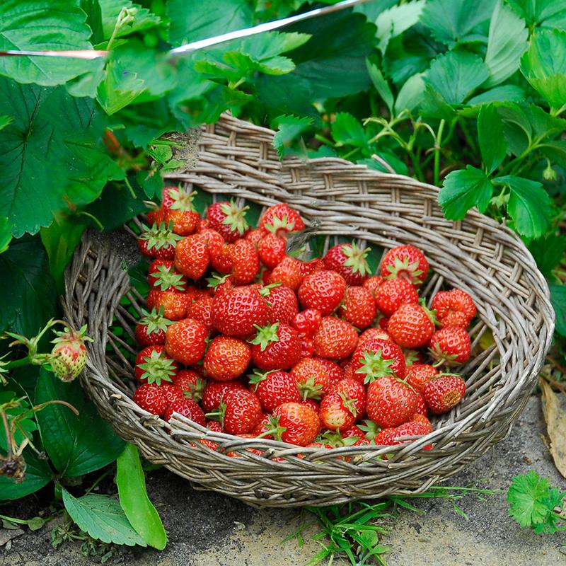Skörd av jordgubbar