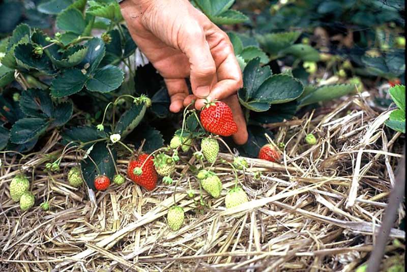 Hamling av jordgubbar i odling