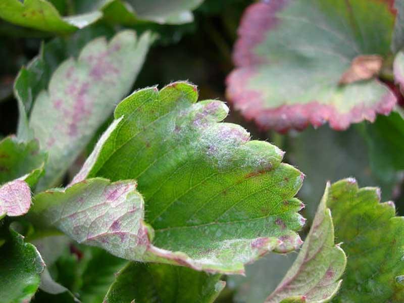 Mjöldagg på jordgubbsblad