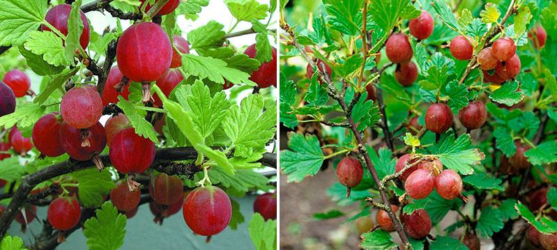 Röda krusbär Hinnonmäki röd och Rolanda