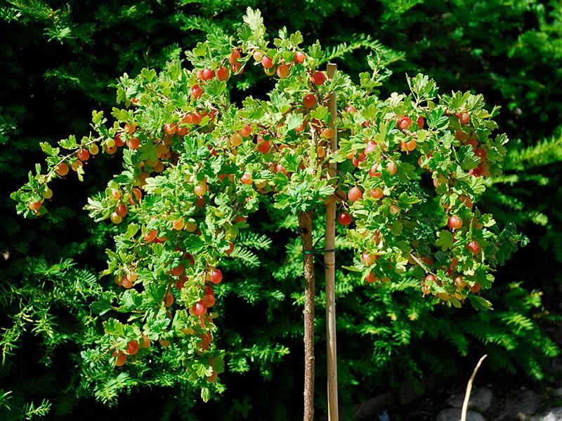 Uppstammad krusbärsbuske