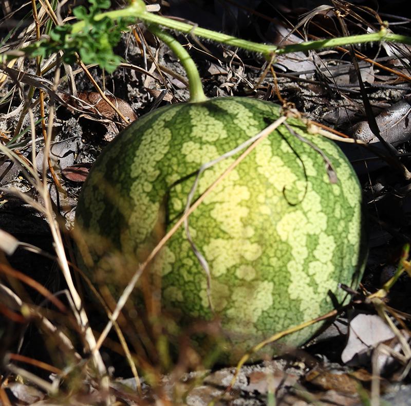 Vildväxande tsamma melon i Namibias öken