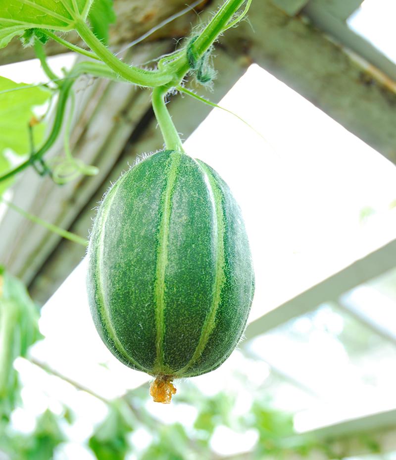 Odling av vattenmelon i växthus