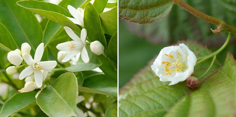 Blomma av minikiwi actinidia hanblomma och honblomma