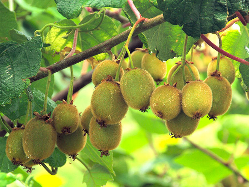 klase med frukter på minikiwi Actinidia
