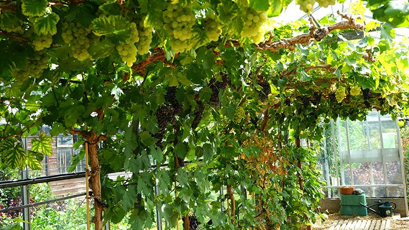 odling av vindruvor i växthus