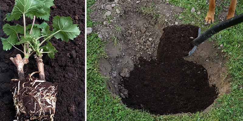Plantering av vinranka