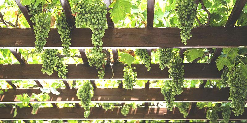 Vinranka som tak över uteplats