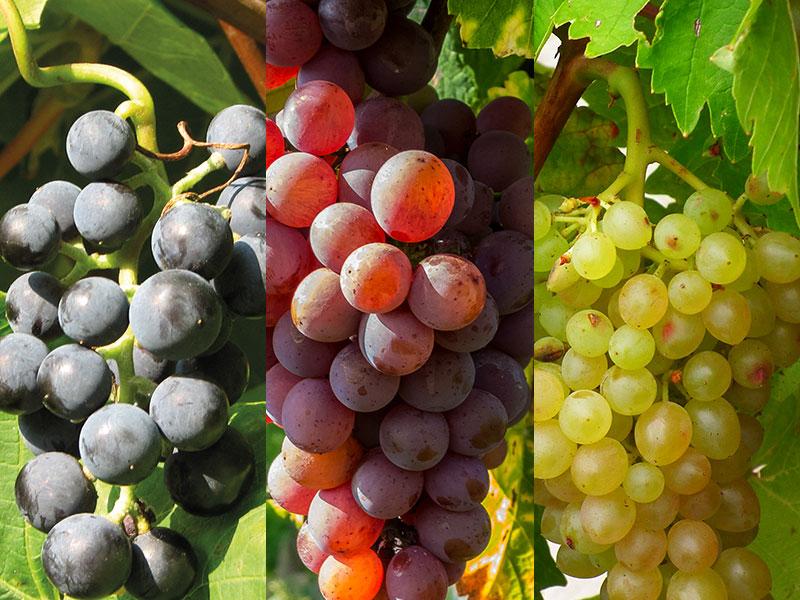 röd, vinröd och vit vindruva