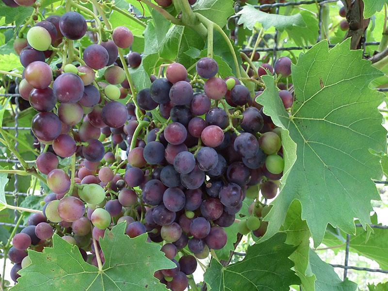 Vindruvsklase i odling
