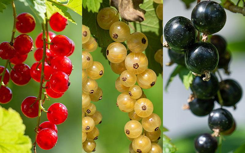 Röda vita svarta vinbär