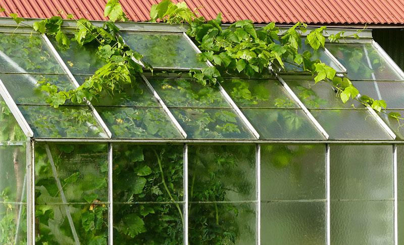 Övervuxen vinranka i växthus