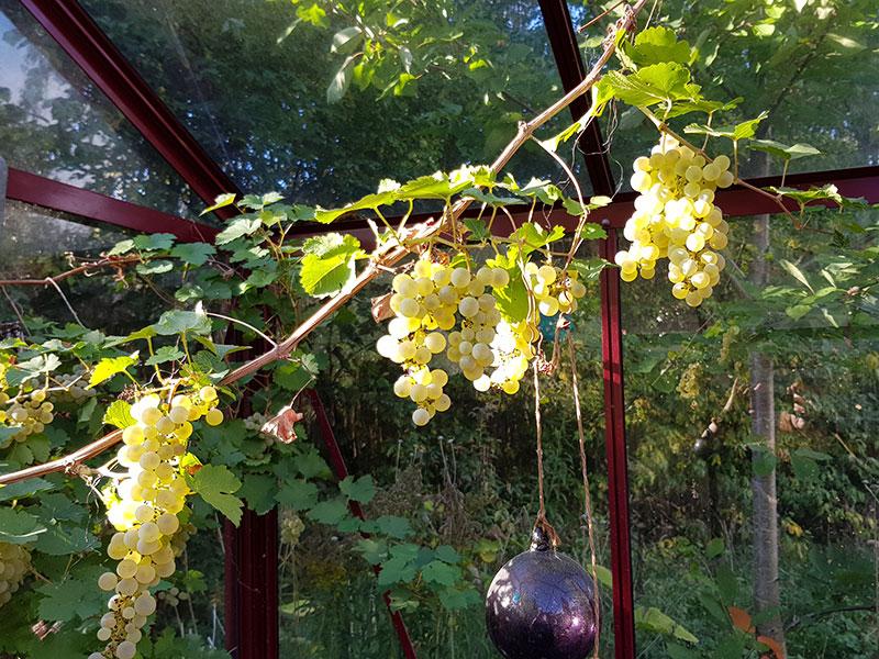 Vindruva Himrod i växthus