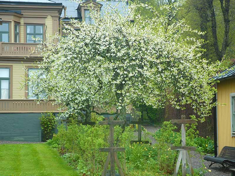 Päronträd i köksträdgård