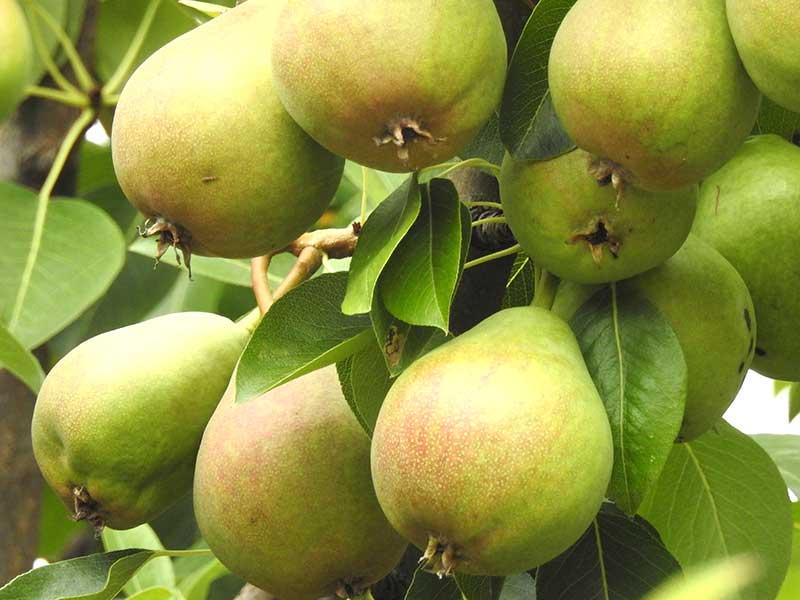 päron clara frijs