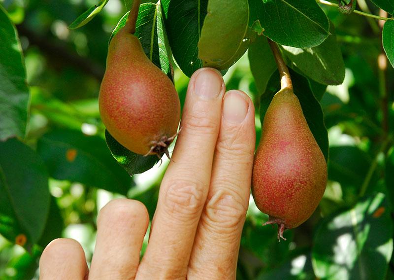 Gallring av päron
