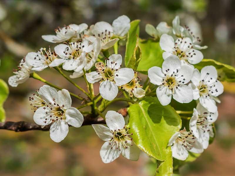 Päron blomma