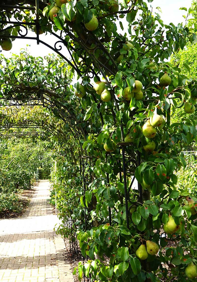 Päronträd som valv