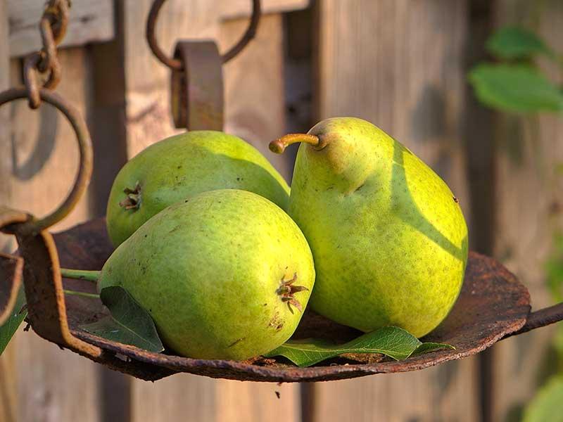 Skörd av päron