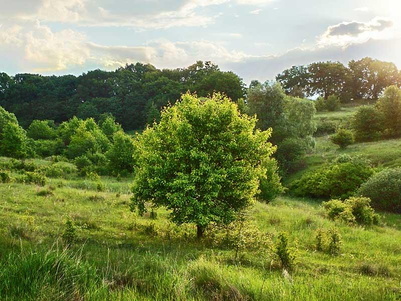 Vildväxande päronträd
