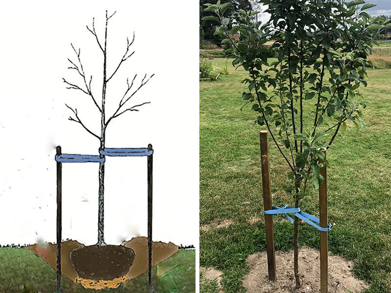 Plantering av fruktträd