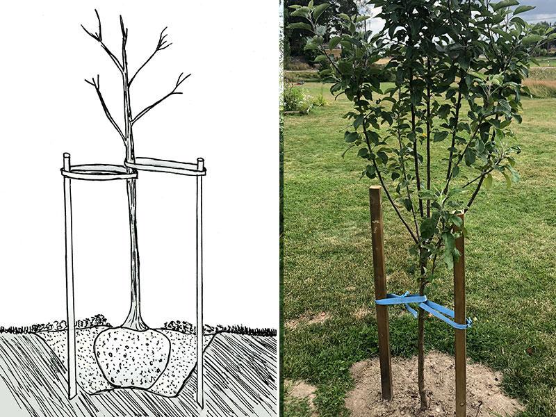 plantering av fruktträd.jpg