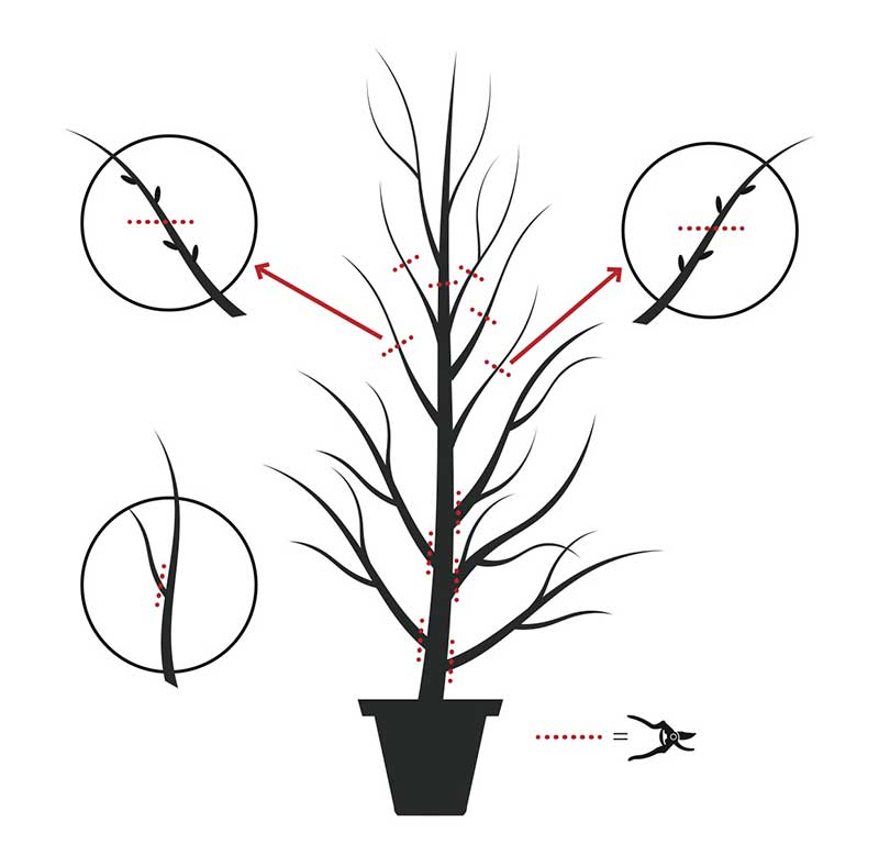 Etablering beskärning av plommonträd
