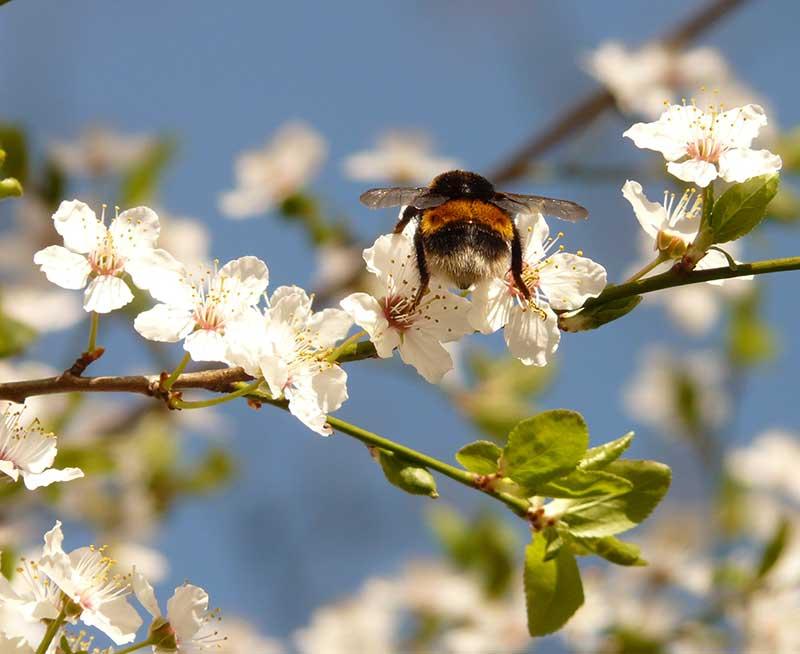 Blommande plommonträd med pollinering av humla